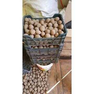 Ziemniaki sadzeniaki gala solar swoje eko