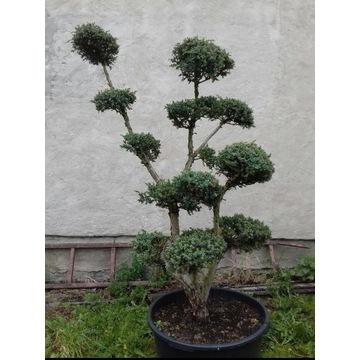 bonsai niwaki do ogrodu jałowiec
