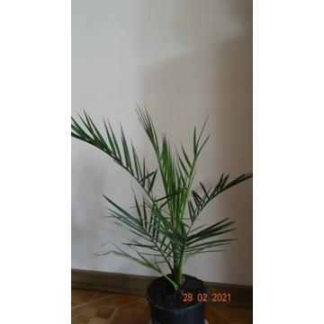 Palma kanaryjska