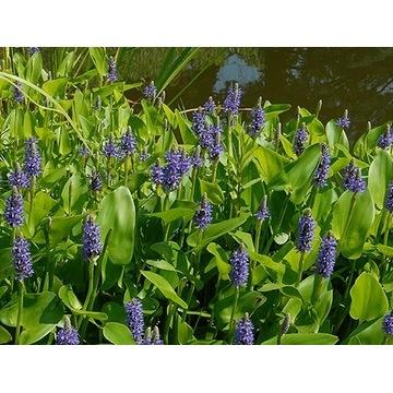 Rozpław sercolistny Pontederia roślina wodna