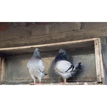 Kingi gołębie
