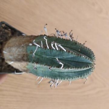 Kaktusy Euphorbia valida
