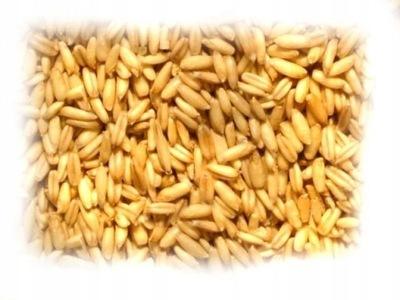 ОВЕС ЛУЩЕННЫЙ Семена семена