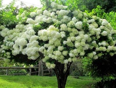 Гортензия PHANTOM Красивые белоснежные дерево