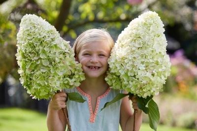 Гортензия bukietowa ГЕРКУЛЕС самый большой цветы
