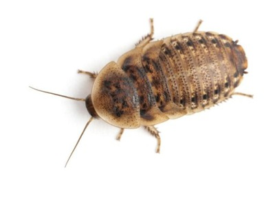 тараканы песо dubia 1 ,Ноль - 1 ,5 см -120 штук