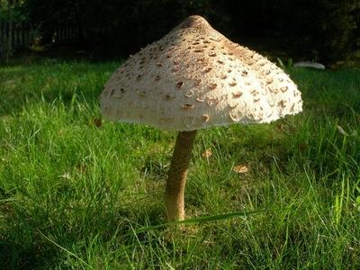 Мицелий зонтик ЗМЕЙ Грибы в саду