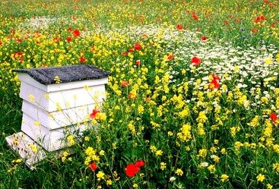 Клумба в виде ЛУГ цветы полевые MIODODAJNY ГАЗОН 100 г