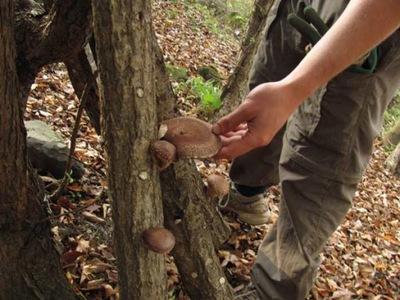 опята МЕДОВАЯ мицелий на штырьках Грибы Лесные