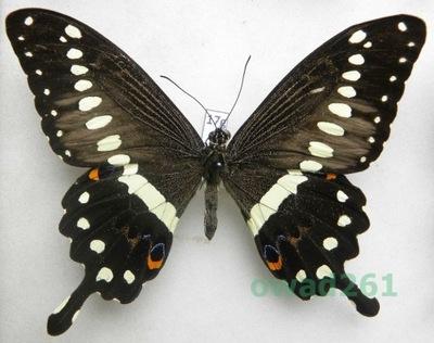 Papilio lormieri CAR 112mm17g