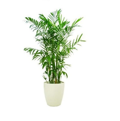Chamaedorea elegans CHAMEDORA palma ?????????? S