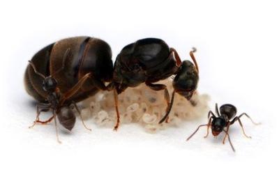 Муравьи Lasius niger +Оборудование formikarium