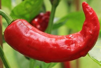 Перец АНАХАЙМ ЧИЛИ B .большая  ???  25 см HOT chilli