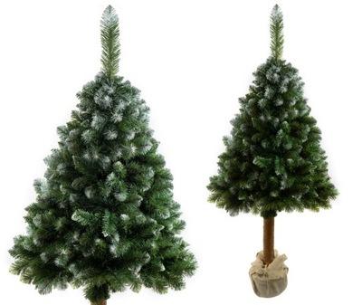 Vianočné stromčeky - Strom BOROVICA 180 cm OŚNIEŻONA na kmeň borovice