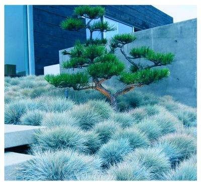 Овсяница голубая синяя Трава Морозостойкая 55n.