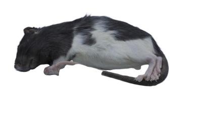 Крысы замороженные 70 /90г 10 штук