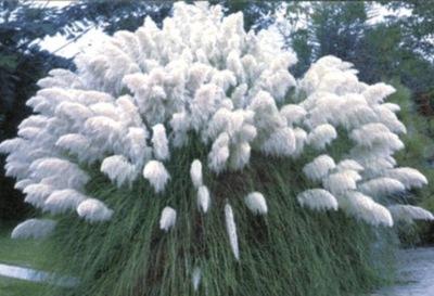 Трава pampasowa белая (серебристая) саженцы Р9