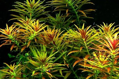 Limnophila aromatica - выращивание подводное
