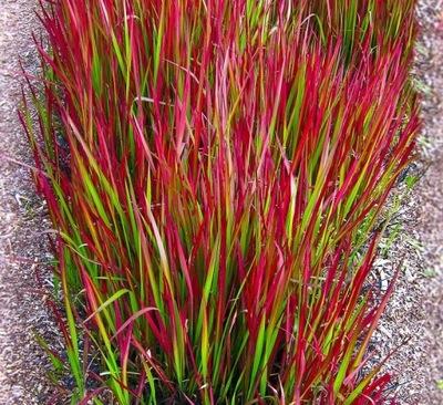 Трава Нарядная красная Red Baron