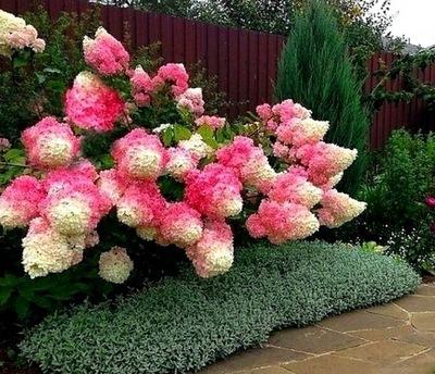 Гортензия Двухцветный VANILLE FRAISE самая Красивая