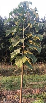 Дерево быстро растет Павлония hybrid как oxytree