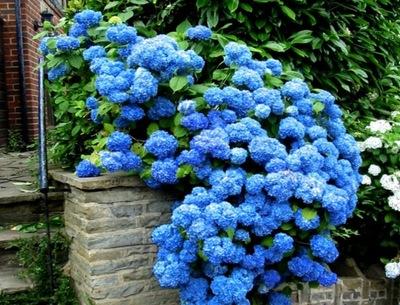 НАИБОЛЕЕ синяя ГОРТЕНЗИЯ NIKKO BLUE