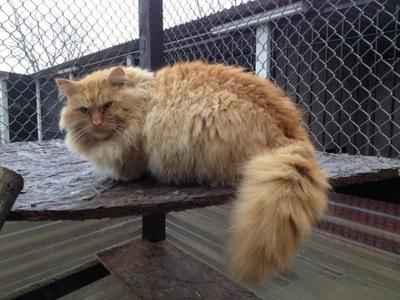Жеребец кот Сибирский Шоколадный ,Маскарад