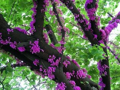 JUDASZOWIEC ВОСТОЧНЫЙ - СЪЕДОБНЫЕ цветы - 20 СЕМЯН