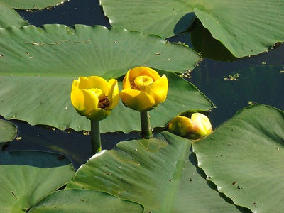 Grążel żółty do oczka wodnego