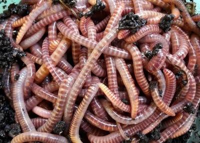 Одна тысяча пятьсот штук Kompostowe дождевых Червей калифорнийские микс