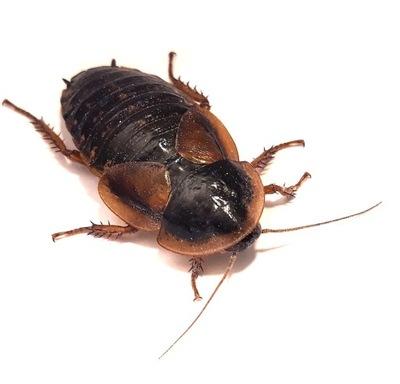 Тараканы песо Dubia 2 -3 см 100шт