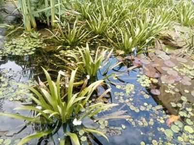 Osoka Aleosowata Очищает и Natlenia водоем Водные