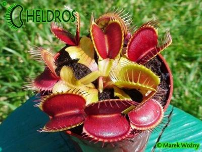 МУХОЛОВКА Dionaea Muscipula - 50X -от заводчика