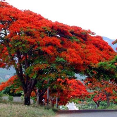 Пламя Африки самые КРАСИВЫЕ Дерево МИРА бонсай