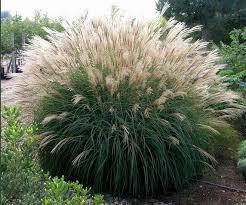 Мискантус китайский Silberspinne приятный шум травы