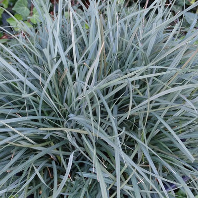 ОСОКА Carex PAMIRA синяя трава НЕ требующая