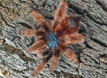 Caribena versicolor (SpidersForge)