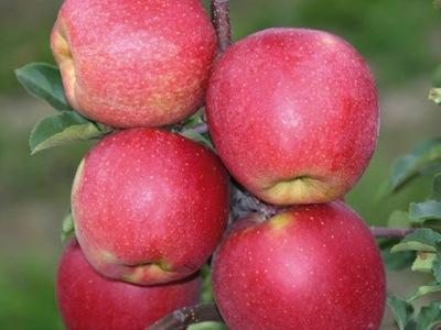 Jabłoń SZAMPION nasza ulubiona NAJLEPSZA