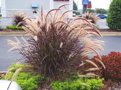 Rozplenica Piórkówka Rubrum лиловая трава горшок