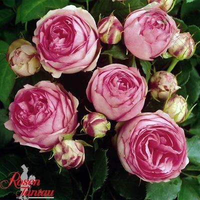 Róża wielkokwiatowa - First Lady GOŁY KORZEŃ