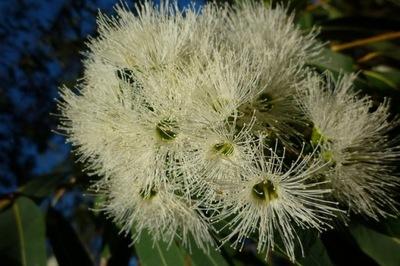 Corymbia ЛИМОННАЯ -Eucalyptus citriodora СЕМЕНА