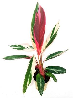 Stromanthe, goeppertia, calathea triostar, HIT! M