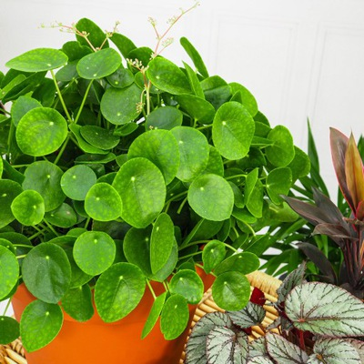 Pilea peperomioides - roślina PIENIĄŻEK rozmiar S