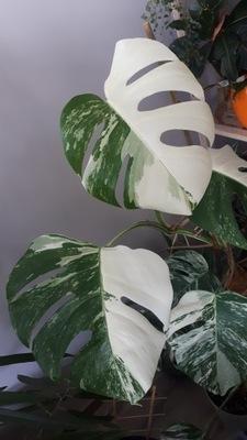 Monstera deliciosa variegata HALF MOON