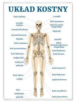 Plakat edukacyjny układ kostny człowieka kości