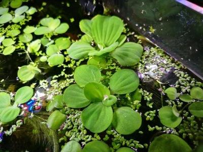 Pistia растение плавающее С аквариум