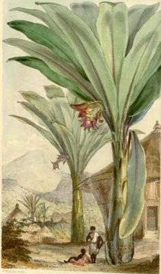 Ensete ventricosum - банан абиссинский СЕМЕНА