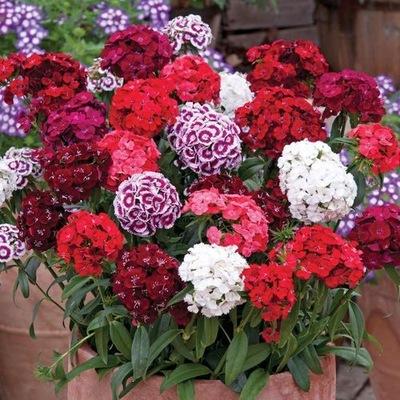 Gożdzik бородатый Рассада цветы Многолетники