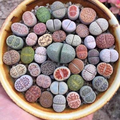 ЖИВЫЕ Камни Оригинальные СУККУЛЕНТЫ