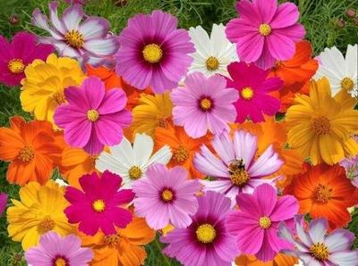 ONETEK / Космос высокая разноцветное цветы семена